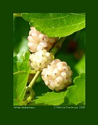 Patricia Overmoyer - White Mulberries-I