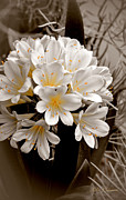 Amaryllidaceae Prints - White Natal Lily Splash of Color Print by Julie Palencia