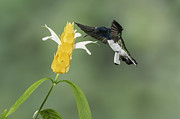 Juan Carlos Vindas - White necked Jacobin...