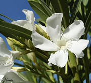 Oleanders Paintings - White Oleander by Ellen Henneke