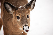 Deer In Snow Prints - White On The Nose Print by Karol  Livote
