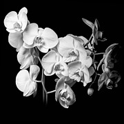 Flower Design Framed Prints - White Orchid - Black and White Framed Print by Erik Brede