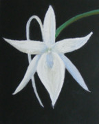 Natural Pastels - White Orchid-Black Background by C A Daniels