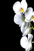 Floral Photos - White Orchid II by Erik Brede