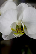 White Orchid Print by Ivete Basso