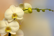 Pale Colors Prints - White Orchid Print by Lutz Baar