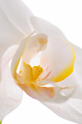 Mark Tripp - White Orchid