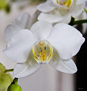 Michael Friedman Prints - White Orchid Print by Michael Friedman