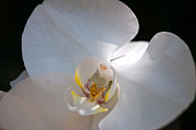 Paul Pascal - White Orchid