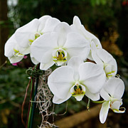 Evansville Prints - White Orchids 2 Print by Timothy Blair