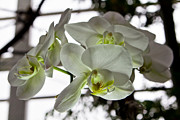 Evansville Prints - White Orchids 3 Print by Timothy Blair