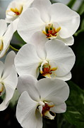 Perrenials Prints - White Orchids 5D22429 Print by Wingsdomain Art and Photography