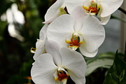 Perrenials Prints - White Orchids 5D22437 Print by Wingsdomain Art and Photography