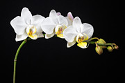 Black And Yellow Art - White Orchids by Adam Romanowicz