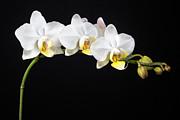 White Orchids Print by Adam Romanowicz