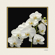 Flower Photographers Posters - White Orchids II Poster by Tom Prendergast
