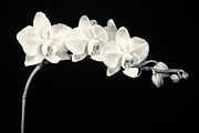 Floral Framed Prints - White Orchids Monochrome Framed Print by Adam Romanowicz