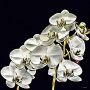 Flower Photographers Art - White Orchids by Tom Prendergast