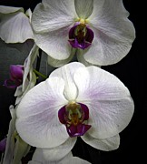 Neurotic Images Photography Posters - White Orchids Too Poster by Chalet Roome-Rigdon