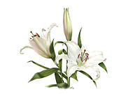 Loop De Loop Posters - White Oriental Lily Detail Poster by Artellus Artworks