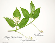 Passifloraceae Prints - White Passion-Flower Print by Roberta Jean Smith