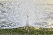 Peacock Metal Prints - White Peacock - Fountain of Youth Metal Print by Christine Till