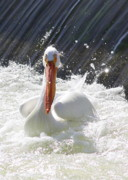 White Pelicans Framed Prints - White Pelican Beauty Framed Print by Carol Groenen