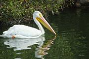 Diana Haronis - White Pelican
