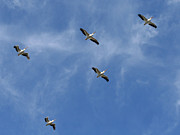 Flying White Pelicans Posters - White Pelican Formation Poster by Bob and Jan Shriner