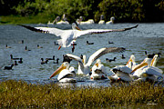 Diana Haronis - White Pelican in Flight