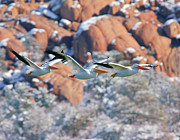 Watson Lake Photos - White Pelican Threesome Flying by Steven Love