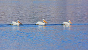 Watson Lake Photos - White Pelican Threesome by Steven Love