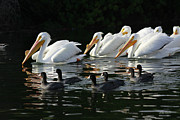Diana Haronis - White Pelicans and Coots