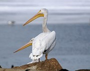 John Dart - White Pelicans at Stinky...