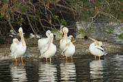 Diana Haronis - White Pelicans Grooming