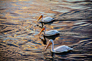 Long Neck Prints - White Pelicans  In Golden Water Print by Robert Bales