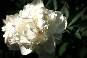 Michelle Calkins - White Peony in Spring