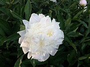 Everything Originals - White Peony In The Golden Hour by Elisabeth Ann