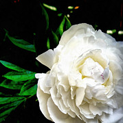 Summer Digital Art Metal Prints - White Peony Metal Print by Michelle Calkins