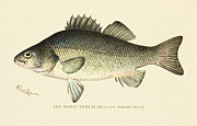 Antique Digital Art Posters - White Perch Poster by Gary Grayson