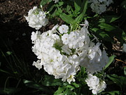 Phlox Originals - White Phlox by Elisabeth Ann