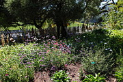 Vineyards Photos - White Picket Fence Garden At Historic Jack London Cottage in Glen Ellen California 5D24559 by Wingsdomain Art and Photography