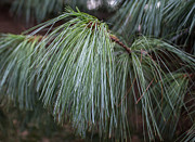 Pine Needles Photos - White Pine by Arlene Carmel
