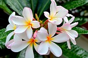 Mary Deal Framed Prints - White Plumeria - 1 Framed Print by Mary Deal