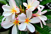 Mary Deal Framed Prints - White Plumeria - 2 Framed Print by Mary Deal