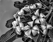 Christopher Holmes - White Plumeria - BW