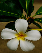 Warm Tones Prints - White Plumeria 2 Print by Cheryl Young