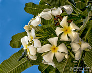 Christopher Holmes - White Plumeria