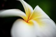 Charmian Vistaunet - White Plumeria Flower Macro
