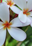 Kathy Yates Photography Prints - White Plumeria Print by Kathy Yates